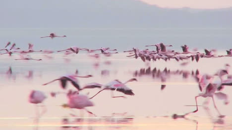 Beautiful-footage-of-pink-flamingos-in-early-morning-light-on-Lake-Nakuru-Kenya-13
