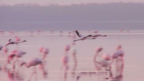 Beautiful-footage-of-pink-flamingos-in-early-morning-light-on-Lake-Nakuru-Kenya-14
