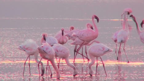 Beautiful-footage-of-pink-flamingos-in-early-morning-light-on-Lake-Nakuru-Kenya-15
