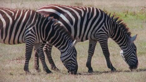Dos-Cebras-Pastan-En-Un-Campo-En-África