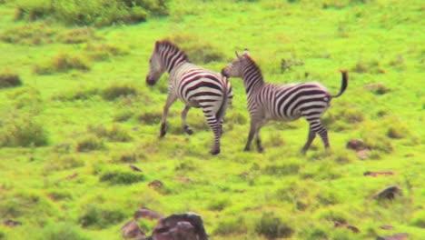 Zebras-running-in-a-field-in-Africa