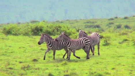 Zebras-play-in-a-field-in-Africa