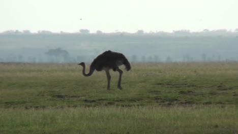 An-ostrich-walks-across-the-plains-of-Africa