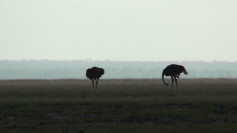 Two-ostriches-stand-in-silhouette-on-the-plains-of-Africa