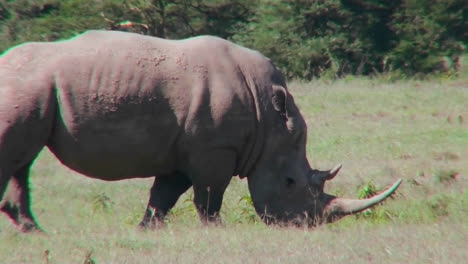 A-rhino-grazes-on-the-plains-of-Africa