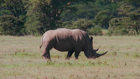 A-rare-rhino-grazes-on-the-plains-of-Africa