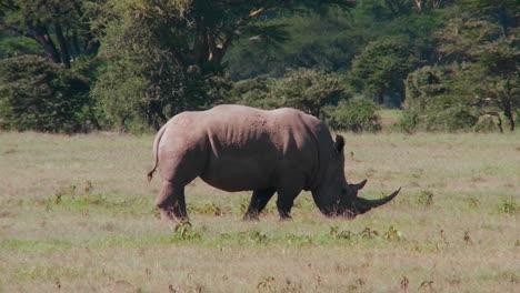 Ein-Seltenes-Nashorn-Weidet-Auf-Den-Ebenen-Afrikas