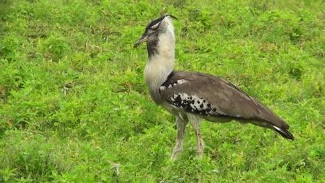 A-kori-bustard-bird-walks-in-grass-in-Africa