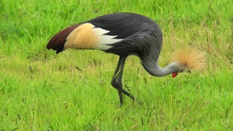 An-African-crested-crane-forages-in-the-grass