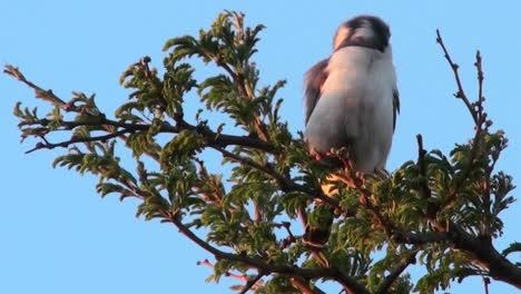 Un-Halcón-Pigmeo-Se-Sienta-En-Un-árbol-En-África