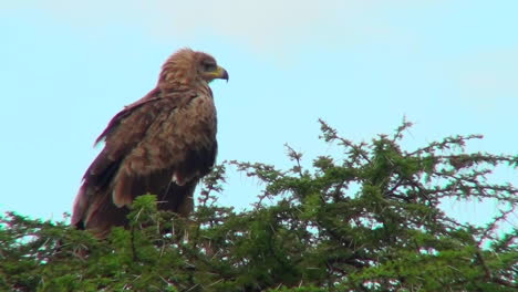 A-tawny-eagle-sits-on-his-perch-surveying-the-Africa-countryside