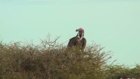 An-African-vulture-sits-in-a-tree