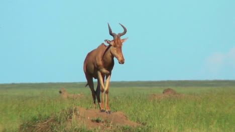 A-topi-African-antelope-standing-on-top-of-an-anthill