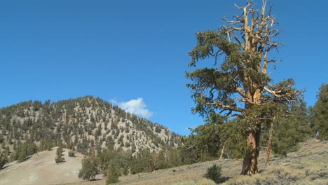 Old-bristle-cone-pine-trees-grow-in-the-White-Mountains-of-California