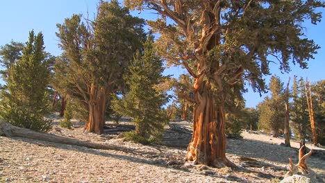 Pan-across-ancient-bristlecone-pine-trees-growing-in-the-White-Mountains-of-California
