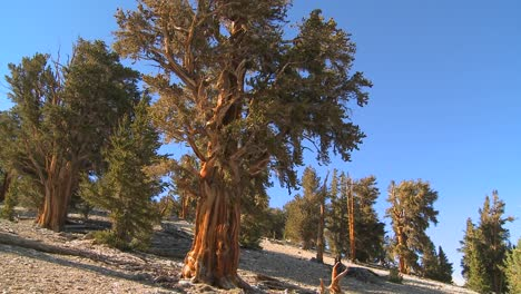 Ancient-bristlecone-pine-trees-growing-in-the-White-Mountains-of-California