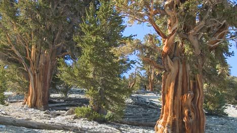 Ancient-bristlecone-pine-trees-growing-in-the-White-Mountains-of-California-1