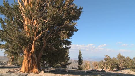 Ancient-bristlecone-pine-trees-growing-in-the-White-Mountains-of-California-in-a-time-lapse-shot