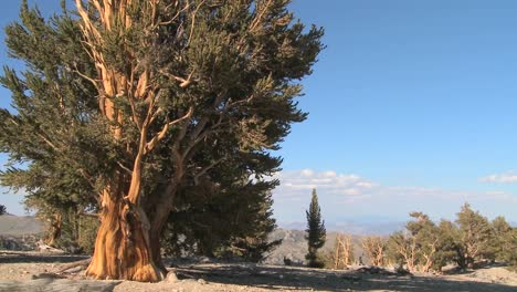 Pan-across-ancient-bristlecone-pine-trees-growing-in-the-White-Mountains-of-California-1