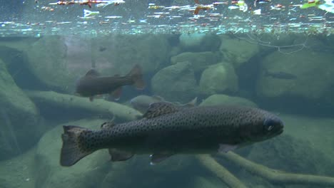 A-shot-moving-from-above-water-to-underwater-reveals-rainbow-trout-swimming