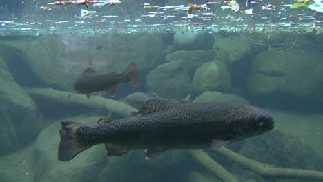 Ein-Schuss-Der-Sich-Von-über-Wasser-Nach-Unterwasser-Bewegt-Zeigt-Das-Schwimmen-Von-Regenbogenforellen