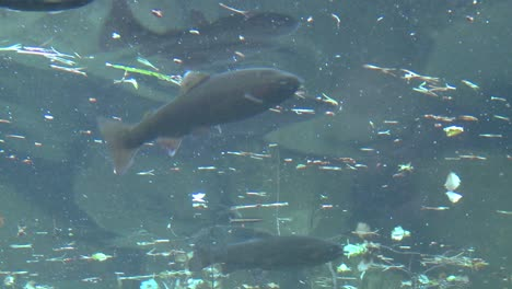 Low-angle-of-rainbow-trout-swimming-underwater