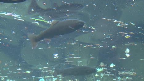 Bajo-El-ángulo-De-La-Trucha-Arco-Iris-Nadando-Bajo-El-Agua