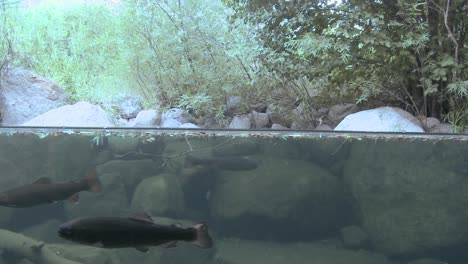 Water-split-level-shot-of-rainbow-trout-in-stream