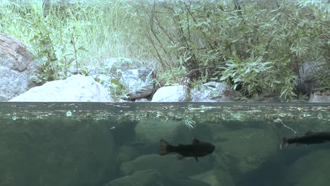 Water-split-level-shot-of-rainbow-trout-in-stream-1
