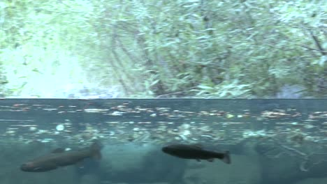 Water-split-level-shot-of-rainbow-trout-in-stream-2