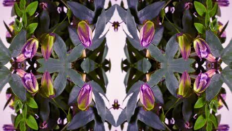Passiflora-12