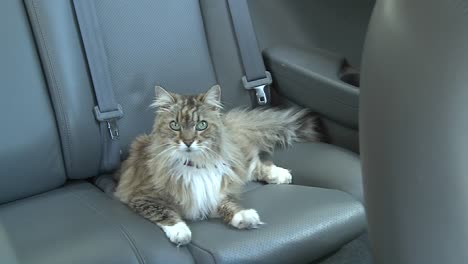 A-Maine-coon-cat-sits-in-the-backseat-of-a-car