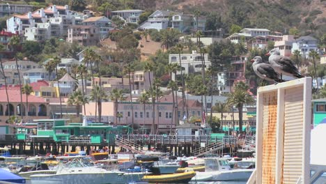 Two-seagulls-observe-the-activities-in-the-port-at-Catalina-Island