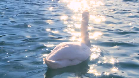 A-white-swan-swims-on-sparkling-water-in-a-lake