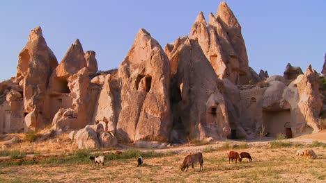 Las-Vacas-Pastan-Frente-A-Extrañas-Formaciones-Geológicas-En-Capadocia-Turquía