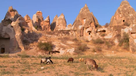 Cows-graze-in-front-of-bizarre-geological-formations-at-Cappadocia-Turkey-1