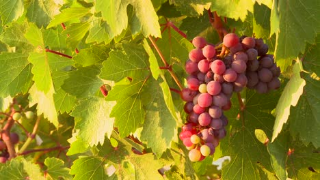 Beautiful-grapes-grow-on-a-vine-in-a-vineyard