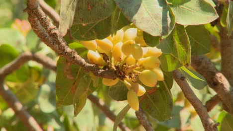 Pistachios-grown-in-an-orchard-