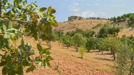 Panning-shot-reveals-pistachios-growing-in-an-orchard-