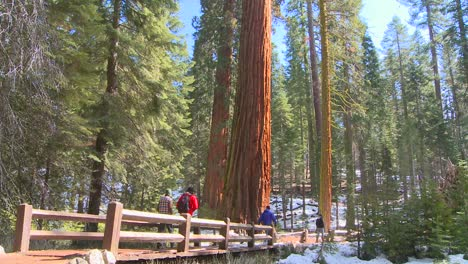 Hikers-walk-near-giant-Sequoia-trees-in-Yosemite-National-Park