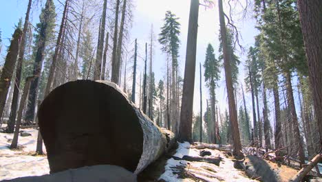 Giant-Sequoia-trees-lie-on-the-ground-burned-after-a-forest-fire-in-Yosemite-National-Park