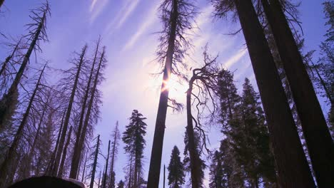 Low-angle-shot-looking-up-at-Giant-Sequoia-trees-burned-after-a-forest-fire-in-Yosemite-National-Park