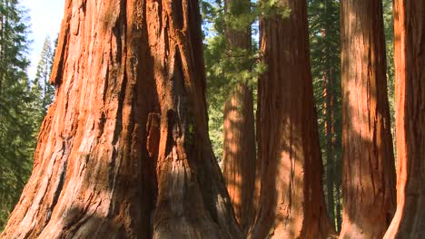 Giant-Sequoia-trees-in-Yosemite-National-Park