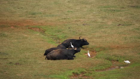 Wildebeest-Laying-in-Field-105