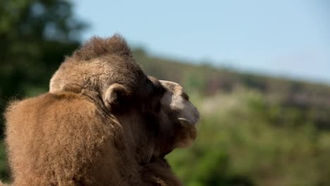 Camel-Close-Up-36