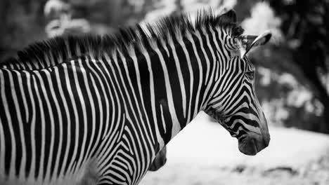 Zebra-Grevy-09