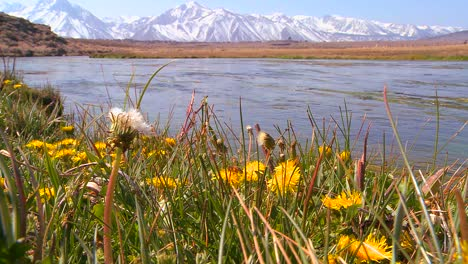A-beautiful-river-runs-through-the-Sierra-Nevada-mountains-with-wildflowers-in-foreground-1