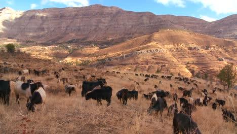 Shepherds-herd-goats-in-the-beautiful-hills-of-northern-Lebanon-glow-in-the-sun