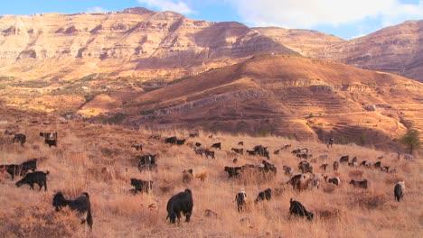 Shepherds-herd-goats-in-the-beautiful-hills-of-northern-Lebanon-glow-in-the-sun-1
