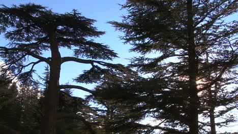 The-beautiful-cedar-trees-of-Lebanon